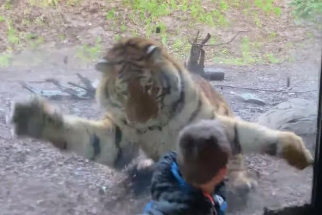 Un tigru a încercat să sfâșie un copil aflat în vizită la o grădină zoo din Dublin. VIDEO