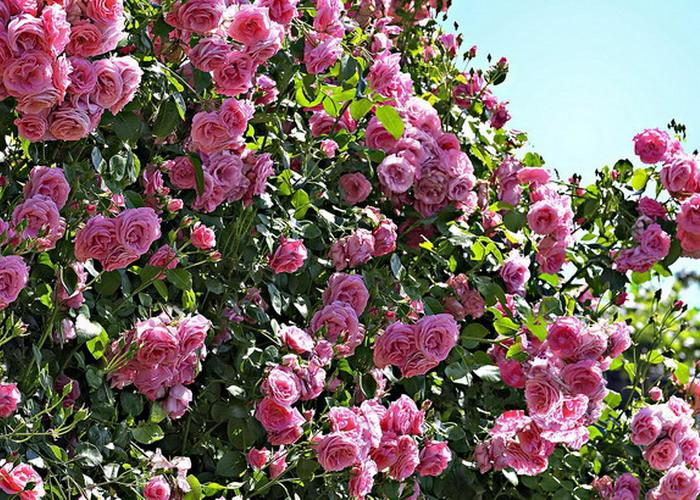 (P) Trandafirul: cele mai frumoase plante din casa ta