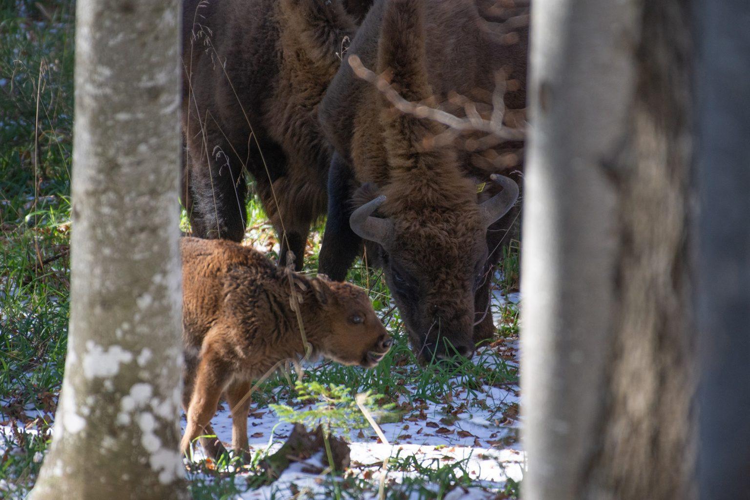Video. Primul pui de zimbru născut în libertate, în Munții Făgăraș, după două secole