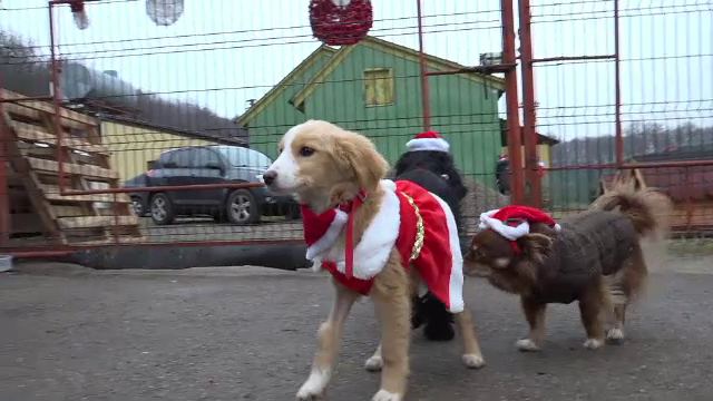 Câinele polițist Oscar a fost Moș Crăciun pentru cățeii de la un adăpost din Suceava. Cum a fost primit