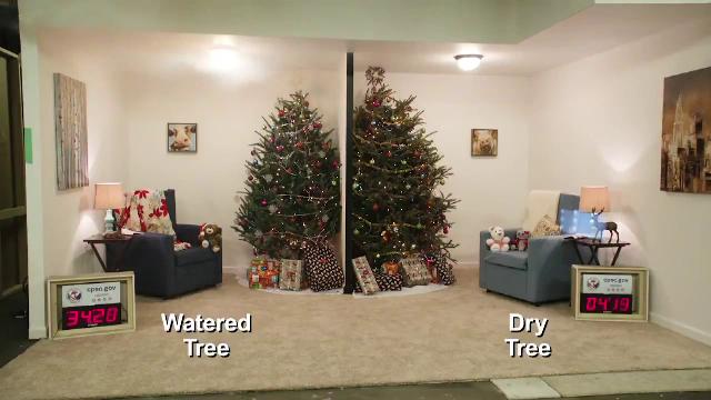 Motivul pentru care trebuie să udăm brazii de Crăciun. Explicația unor experți din SUA