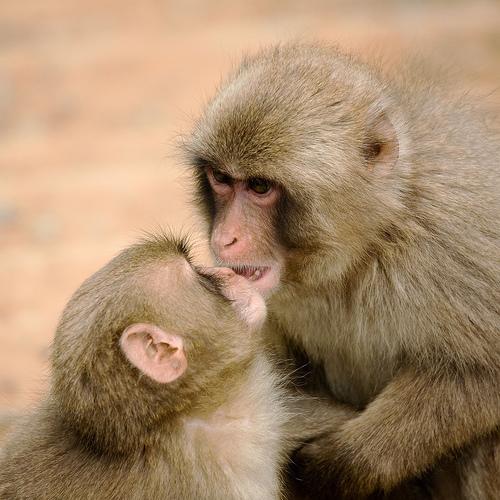 Vamesii mexicani au prins un barbat care transporta 18 pui de maimute titi