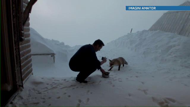 Mita, vulpea surprinzator de prietenoasa, mascota salvamontistilor din Bucegi. VIDEO