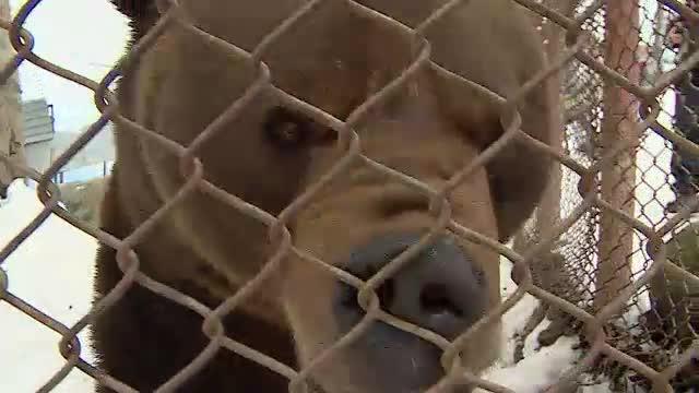 Ursul Baloo din Straja a implinit 14 ani. De ce refuza stapanii lui sa-l lase sa plece intr-o rezervatie