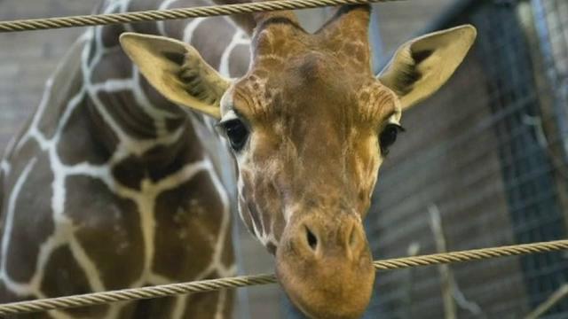 Eutanasiat si dat la lei. Un pui de girafa a fost macelarit in fata vizitatorilor unei gradini zoologice