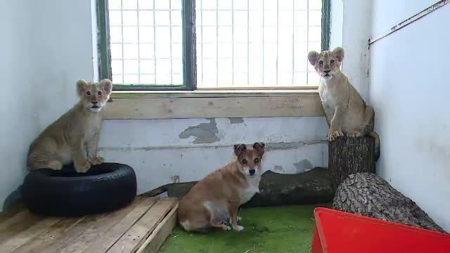 Ce se va intampla cu Lica si Tica, cei doi pui de leu crescuti de o catelusa la Targu Mures