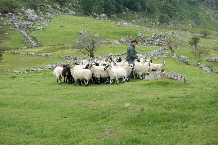 Proiect de amploare in zonele rurale britanice. Oi cu gulere Wi-Fi, senzori in pamant si pe malurile raurilor