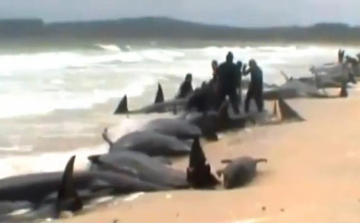 Imagini dramatice in Noua Zeelanda. Peste 170 de balene si delfini au esuat pe o plaja. VIDEO
