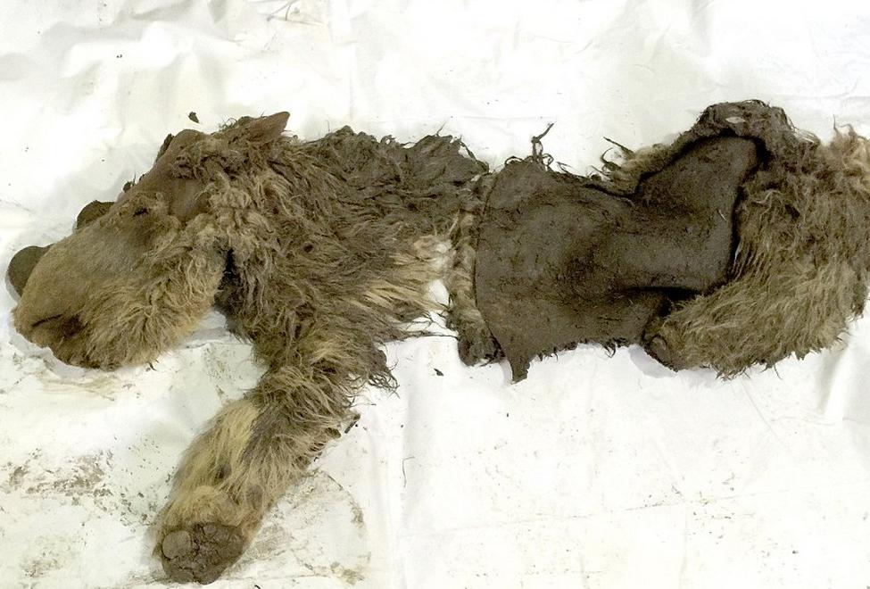 Prima fosila de pui de rinocer lanos, veche de 10 milenii, descoperita in Siberia