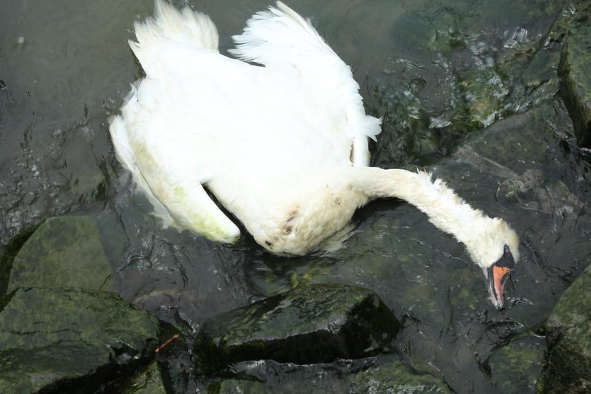 Gripa aviara la doua pasari gasite moarte in Parcul Tineretului din Bucuresti. Cadavrele au fost deja incinerate