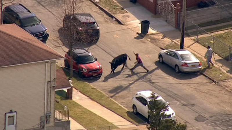 Un taur evadat de la abator a semanat teroare in New York. Ce s-a intamplat in final cu animalul