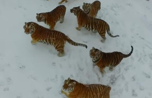 Tigrii care se mentin in forma cu ajutorul unor drone pe care le