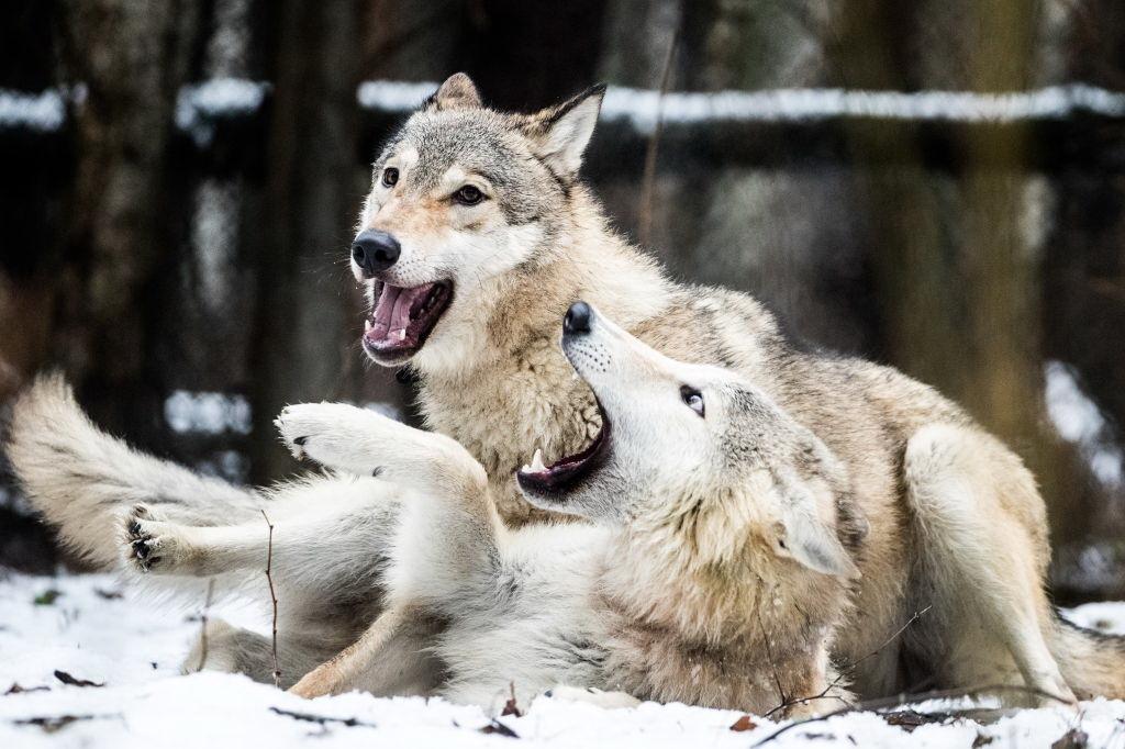 Peste 200 de oi omorâte de lupi la o stână din judeţ. Atacul, dat într-o noapte