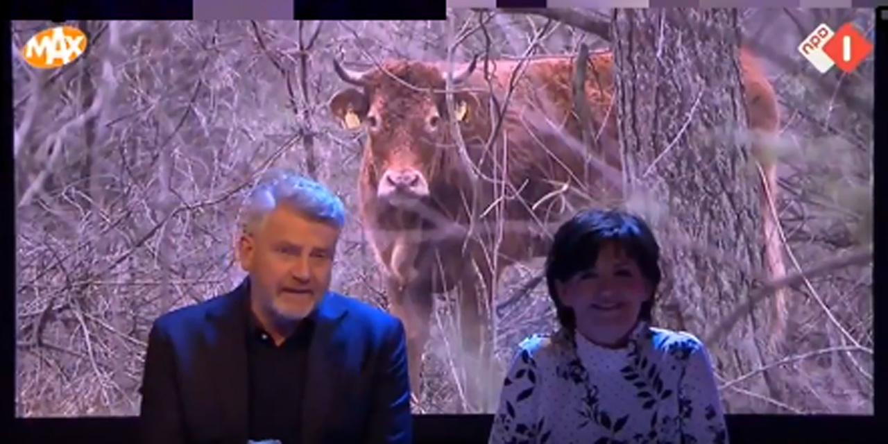 O vacă, vedetă naţională, după ce a
