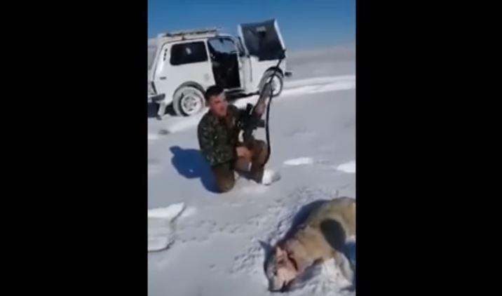 Un lup împușcat s-a prefăcut mort și a atacat un vânător. VIDEO