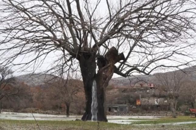 Fenomen natural inedit. Cum arată copacul din care izvorăște apă. VIDEO