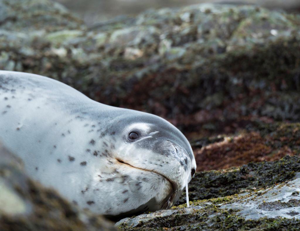 Ce au descoperit cercetătorii într-o bucată de materii fecale de la un leopard de mare