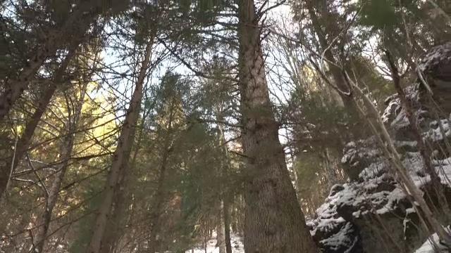 """Brad vechi de 500 de ani, candidatul României pentru titlul de """"Copacul European al Anului"""