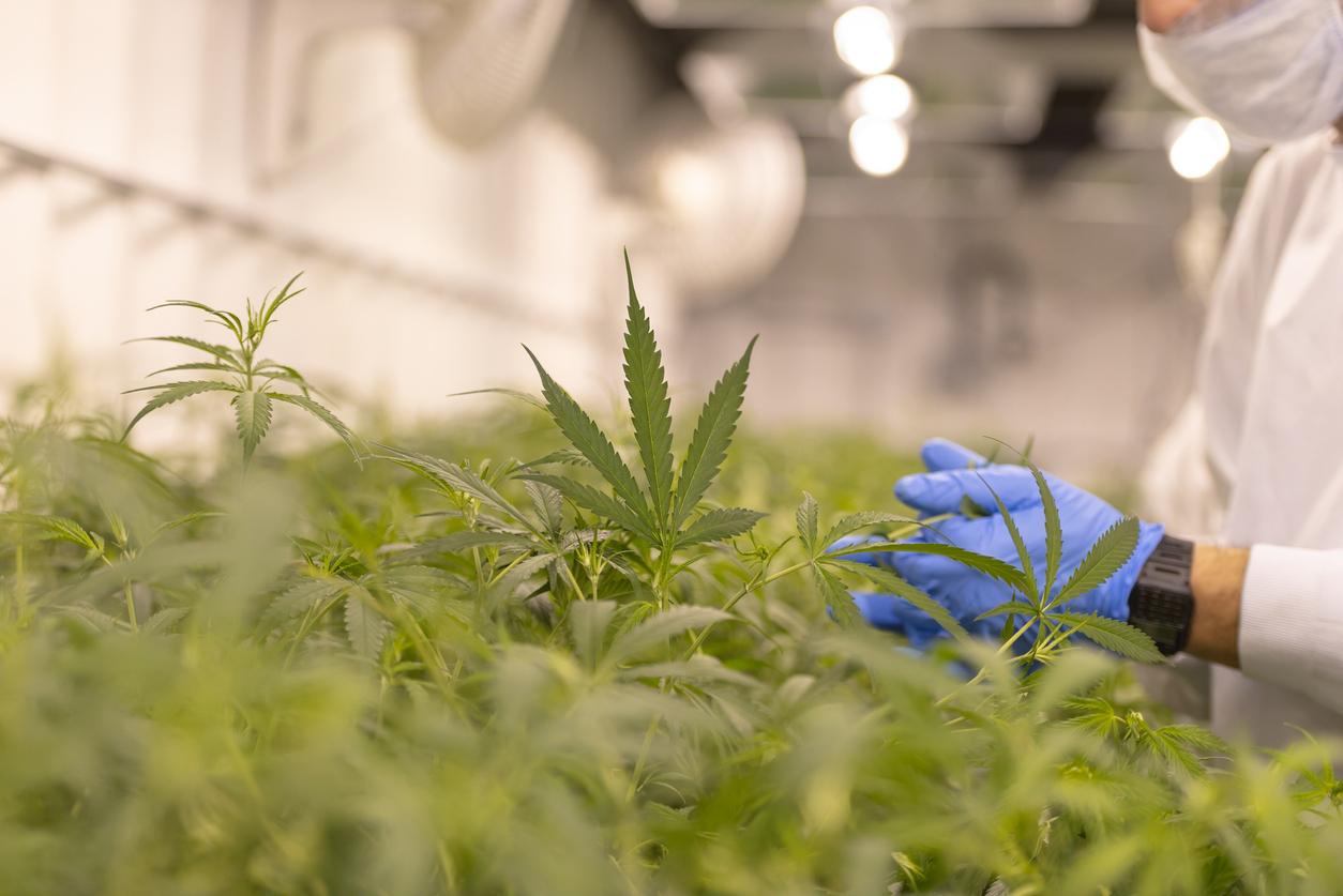 VIDEO. O cultură de cannabis, descoperită într-un apartament din Giurgiu