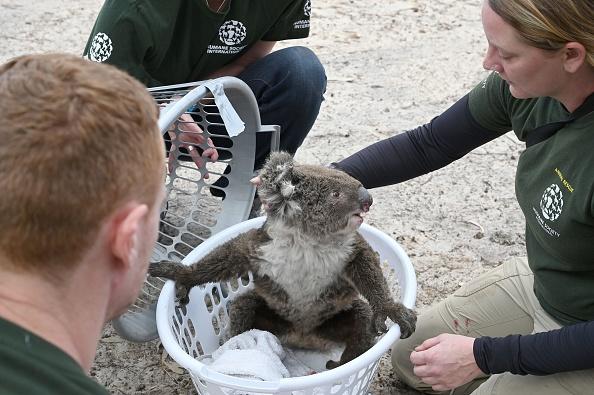 Carnagiu în Australia. Sute de urși koala au fost uciși cu brutalitate