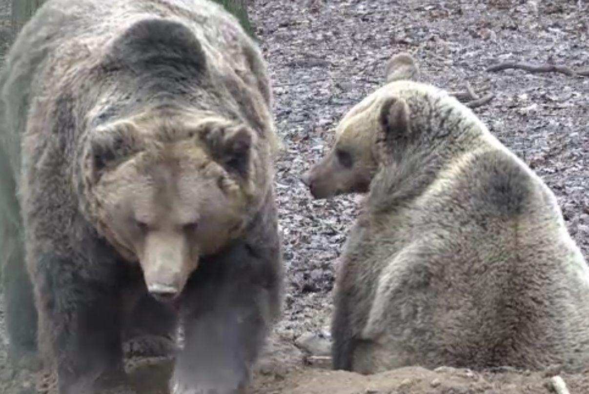 Doi urși au ocupat curtea unei pensiuni din Săcele. Au fost tranchilizați și duși 10 kilometri mai departe