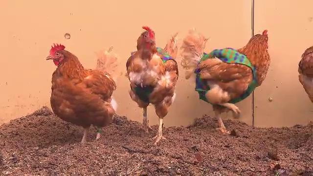 Haine pentru găini. Ideea a fost pusă în practică de o femeie din Germania
