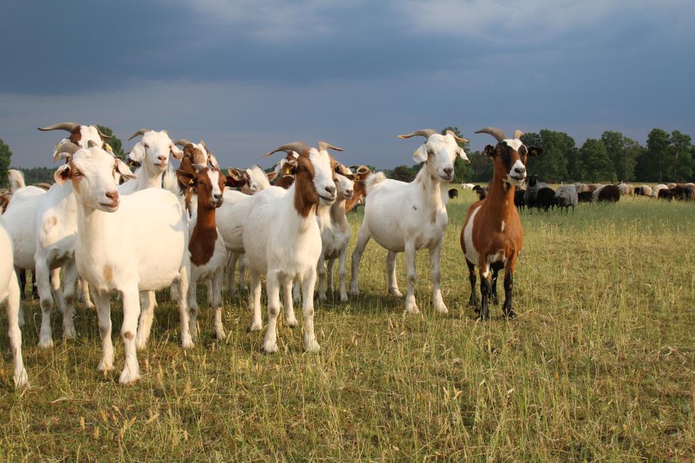 Creatura rezultată prin împerecherea dintre o capră și un berbec. Cum arată și ce îi place să mănânce