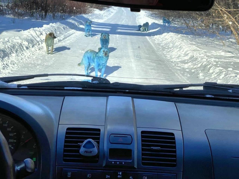 Câinii albaștri, fotografiați într-un sat din Rusia. Cum au ajuns așa