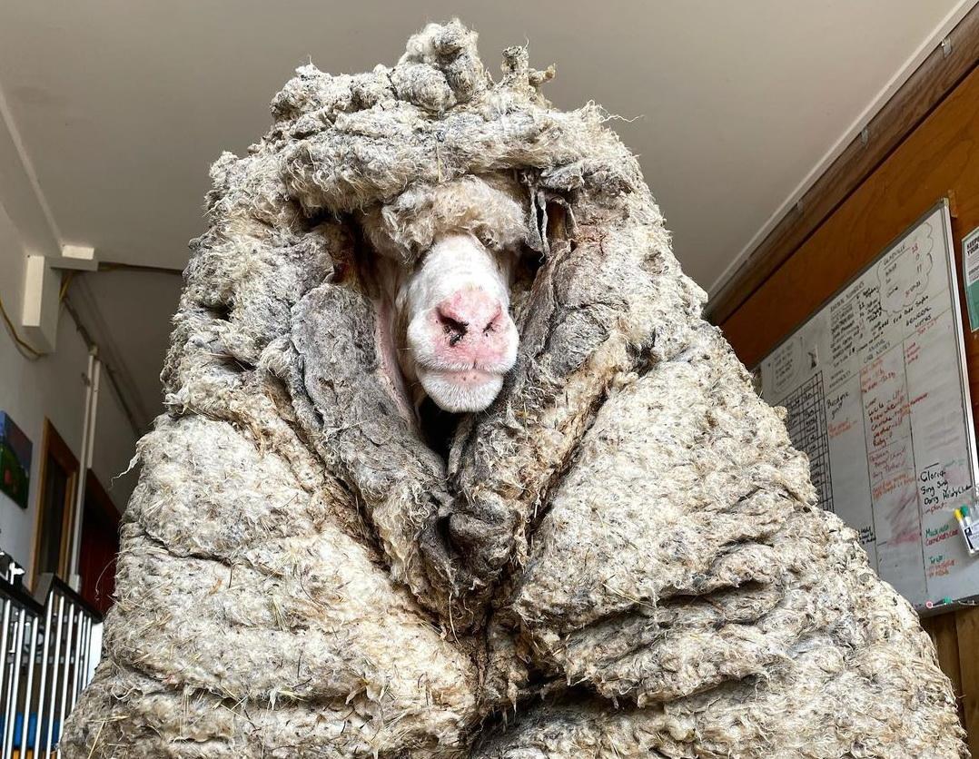Transformarea virală a unei oi rătăcite care a fost tunsă după mai mulți ani