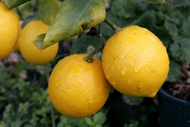 Motivul pentru care avem pe masa lamai si portocale. Ce rol a avut Mafia
