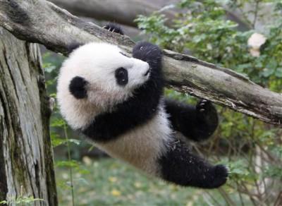 Un pui de panda, vedeta la Gradina Zoologica din San Diego!