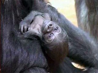 Un pui de gorila de 1,5 kg, noua vedeta de la zoo