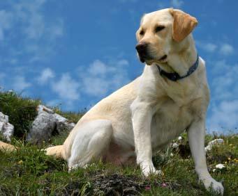Labrador Retriever-ul si Ciobanescul German, cele mai populare rase