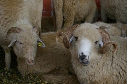 Nici lana romaneasca nu mai corespunde standardelor intrenationale. Ciobanii ies in pierdere