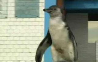 Pinguinul care s-a dus la politie sa ceara ajutor: se ratacise