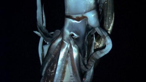 Monstru marin de 8 metri, filmat pentru prima oara, in adancul oceanului.