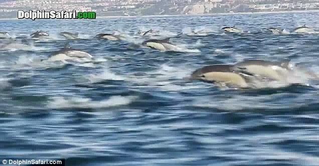 270.000 de vizualizari in patru zile. Sute de delfini filmati in sudul Californiei. VIDEO