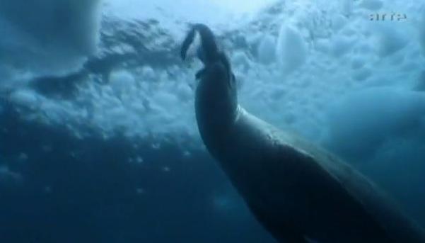 VIDEO. Cum arata pinguinul mutant