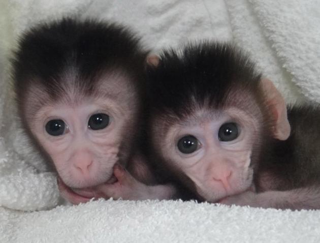 Primele maimute realizate