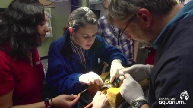 Proteza pusa de veterinari unui peste nascut fara un ochi. De ce a fost necesara interventia