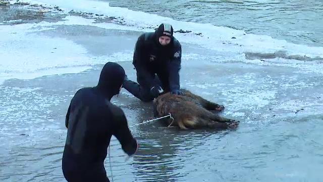Alerta in judetul Mures. Cadavrele a trei mistreti au fost gasite marti in raul Tarnava Mica