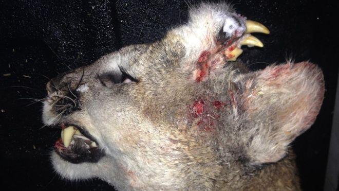 O puma, impuscata de un vanator in SUA, avea un al doilea rand de dinti pe frunte. Explicatia biologilor