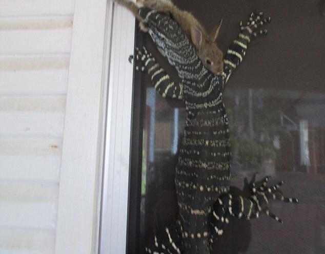 Un australian a ramas socat dupa ce o soparla care vana un iepure a ajuns pe veranda lui. Ce s-a intamplat in cateva secunde