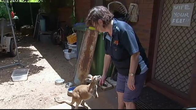 O australianca a deschis o cresa pentru canguri orfani la ea acasa. De 20 de ani ii ingrijeste si le ofera adapost