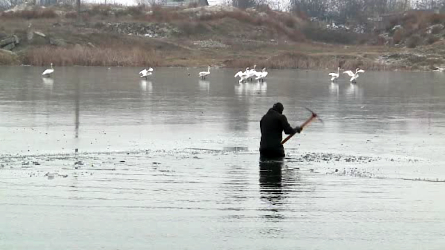 Lebede salvate de pe un lac inghetat de langa Arad. Oamenii spun ca erau atacate constant de caini, dar si de romii din zona