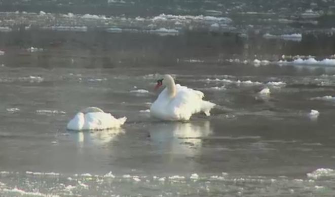 Pompierii din Pitesti au salvat mai multe lebede prinse in gheata de pe raul Arges. Temperaturile au coborat la -12 grade