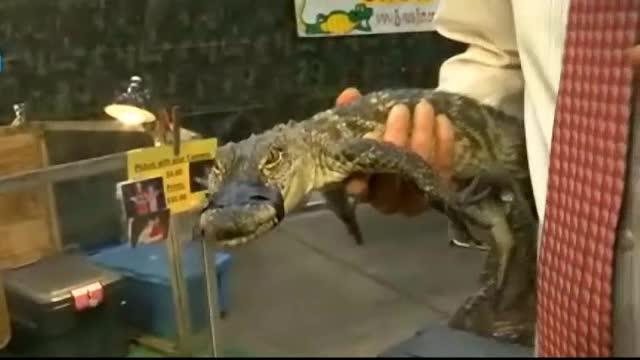Desi avea botul legat, un aligator a gasit solutia pentru a se razbuna pe un reporter.