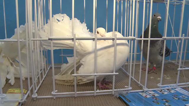 Expozitie de porumbei voiajori la Targoviste. La cat ajunge pretul unui exemplar ce poate zbura si 1.500 de kilometri