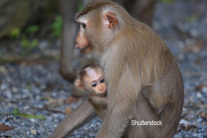 O maimuta a