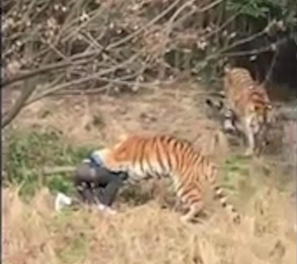 Turist sfasiat de 3 tigri, in fata sotiei si a copilului, la o gradina zoo din China. Cum a ajuns in aceasta situatie. VIDEO